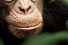 دانلود مستند Chimpanzee (2012)